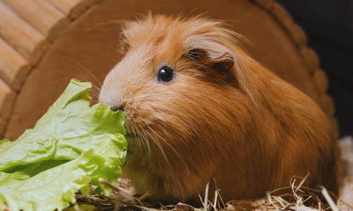 guinea-pig-eating-leafy-greens