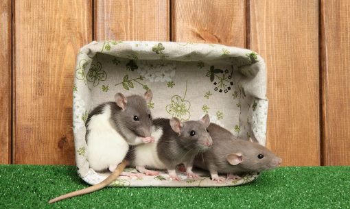 rats in basket