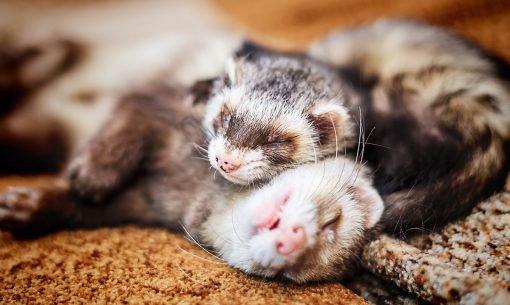 ferrets-together-cuddling