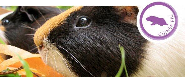 guinea-pigs-feeding-guide