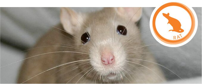 rats-feeding-guide
