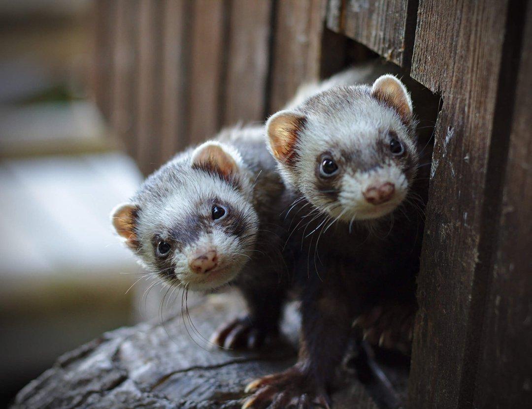 Pair of Ferrets