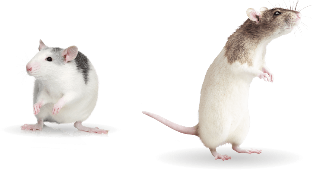 rat-group