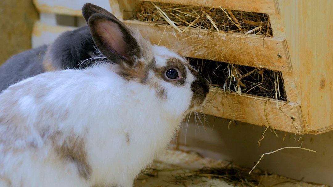 rabbits eating hay