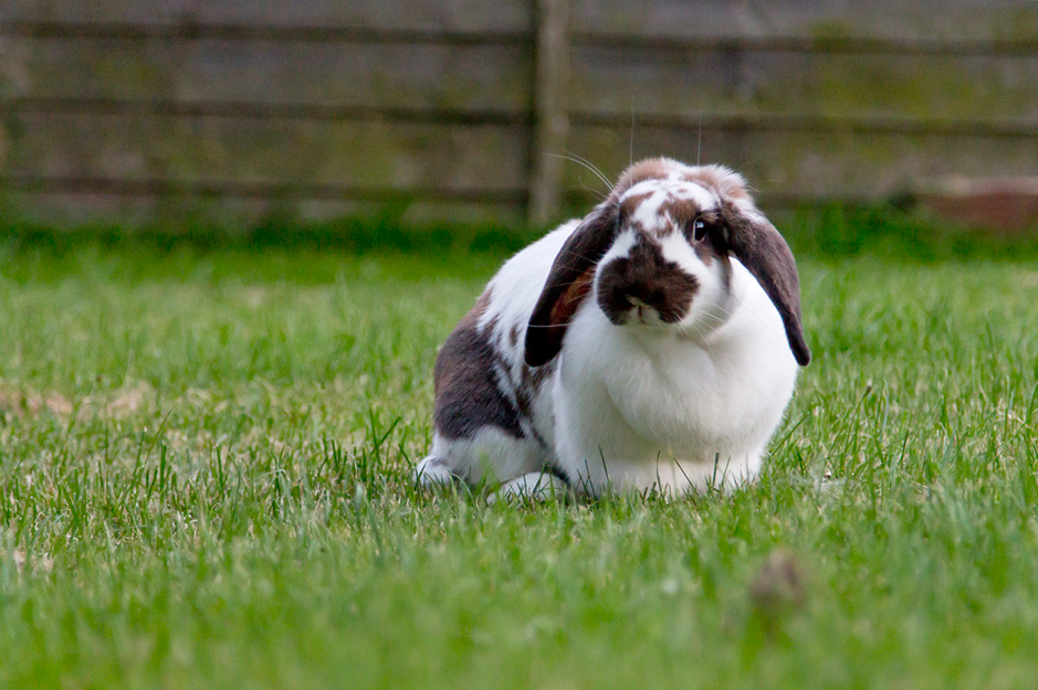 Overweight Rabbit out excersing