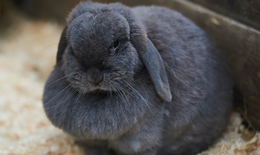 Overweight Rabbit