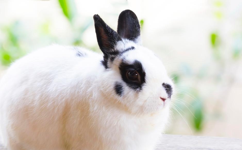 Overweight White Rabbit